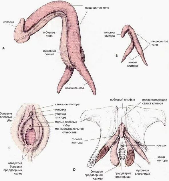 Скачать Клиторальный Оргазм